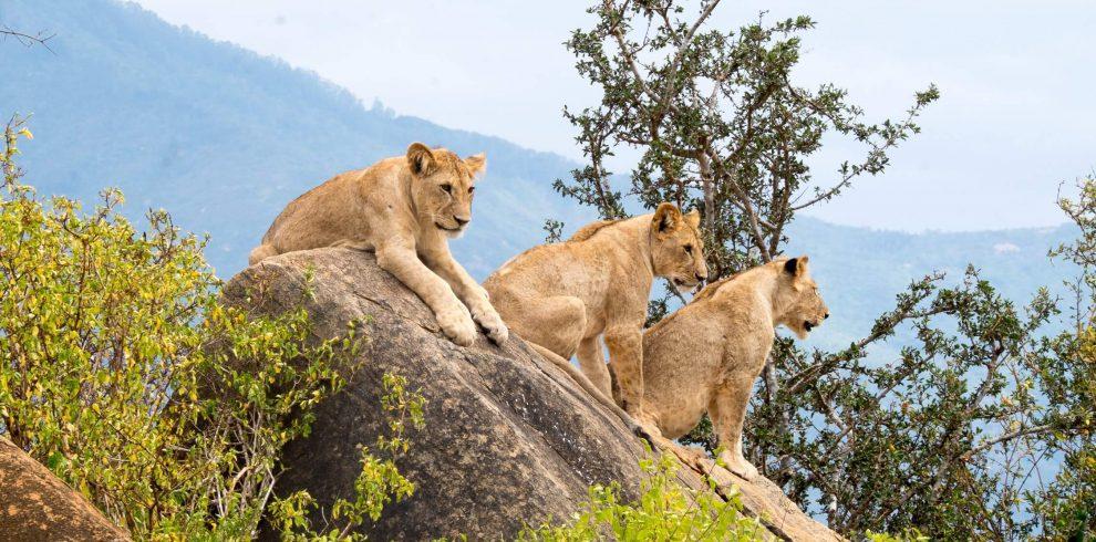 LIONS IN TSAVO
